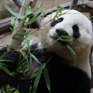 Panda hiding in bamboo